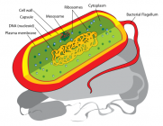Bacterial cell: Image created by Mariana Ruiz Villarreal
