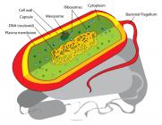 Bacterial cell: Image created by Mariana Ruiz Villarreal