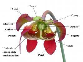 Sarracenia flower dissection: Image courtexy of Noah Elhardt